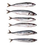 Makreel klein Prebaits